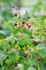 Some red raspberries on the branch