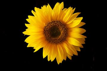 Sonnenblume vor schwarz