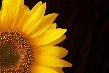 Sonnenblume vor schwarz Ausschnitt Detail