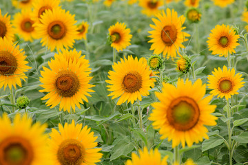 Sunflower in Flower Garden / GREEN