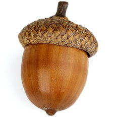 Dried acorn