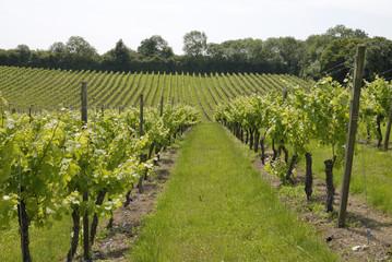 Wall Murals Vineyard Rows of vines in English vineyard