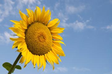 Sunflower closeup against blue sky