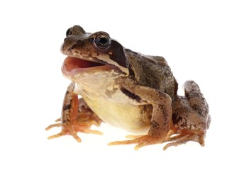 Common european frog, Rana temporaria, with open mouth