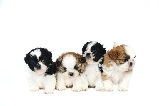 A group of four shih tzu puppies