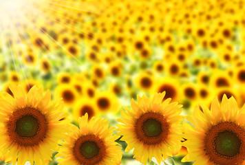 ひまわり畑と日光