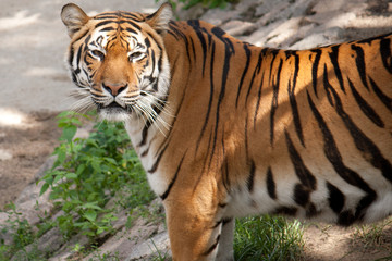 Beautiful tiger looks in the picture