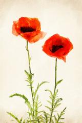 Watercolor poppy