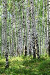 Spoed Foto op Canvas Berkbosje summer green birch forest