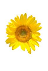 Sunflower.Isolated.
