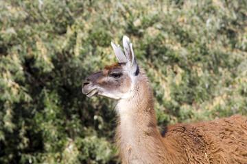 Male guanaco (Lama guanicoe)