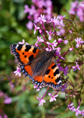 Small Tortoiseshell butterfly (Aglais urticae)