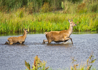 Deer Hind and Fawn wading through water