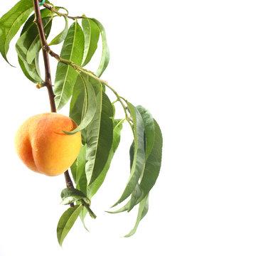 branch of nektarine