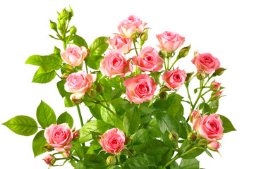 Fototapeta Bush with pink roses and green leafes obraz