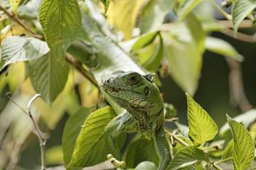 plan raproche d'un Iguane