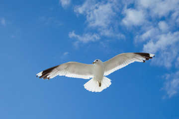 sea gull flying in the blue sky over the Baltic Sea