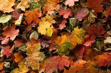 A colorful background image of fallen Autumn leaves