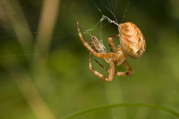 Araneus diadematus - attack