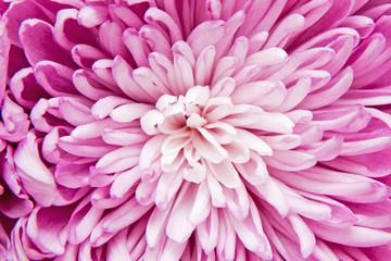Foto op Canvas Macrofotografie chrysanthemum