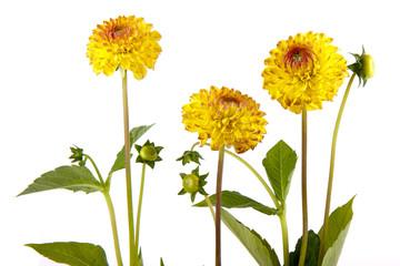 Three yellow chrysantemum isolated on white