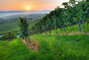 Fototapete - Weintrauben im Weinberg