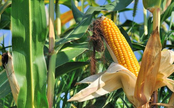 épi de maïs dénudé dans un feuillage