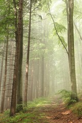 Keuken foto achterwand Bos in mist Path on the border between pine and beech trees