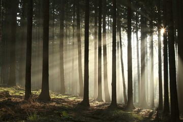 Keuken foto achterwand Bos in mist Pine trees lit by the morning sun on a foggy autumn day