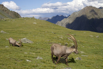 Group of ibex in the Alps