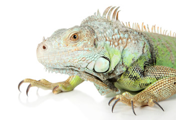 Iguana. Close-up portrait on a white background