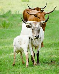 Longhorn cattle grazing in field