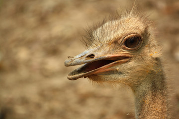Face of a male Ostrich