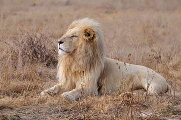 lion blanc 4