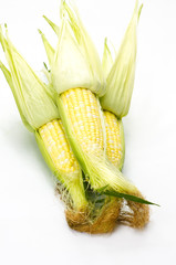Sweet corn husked and ready to eat on white