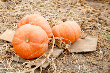 Growing Pumpkins for the Holidays