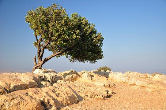 Solitary carob tree on Arbel cliff. Northern Israel.