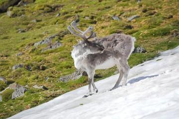 WIld Arctic reindeer