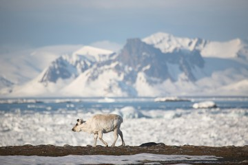 Wild reindeer in the Arctic landscape