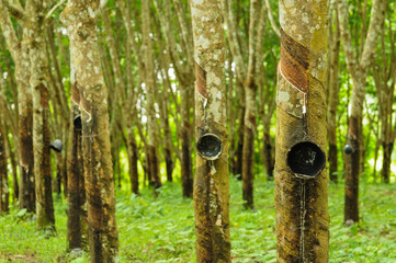 Rubber tree background, Thailand rubber tree plantation, Southea