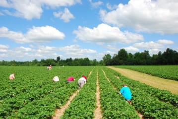 People picking strawberries