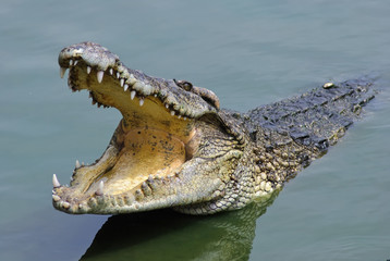 Salt water crocodile, Samutprakarn crocodile farm
