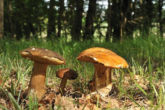 cueillette de bolet en forêt