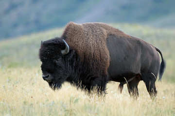 Plains Bison - Waterton Lakes National Park, Alberta