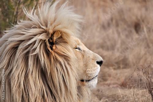 crini re de lion 2 photo libre de droits sur la banque d 39 images image 34917448. Black Bedroom Furniture Sets. Home Design Ideas