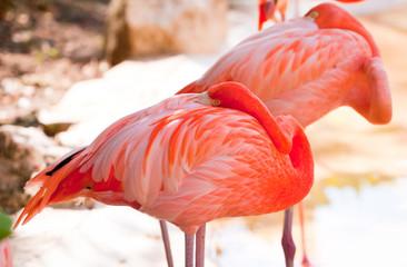 Sleeping pink flamingos in Mexico