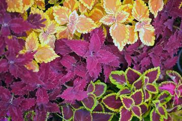 Begonia pattern
