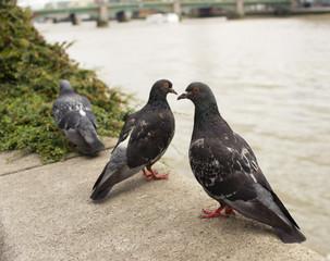 Three Pigeons