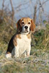 beagle assis dans la campagne en hiver