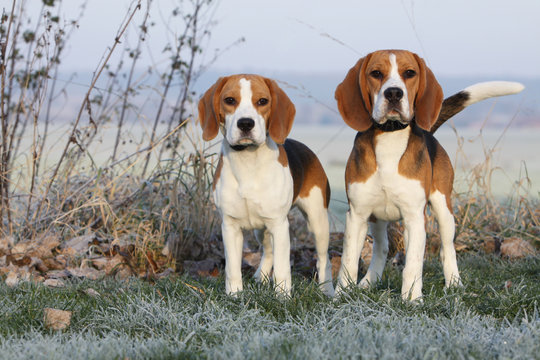 two beautifil beagles